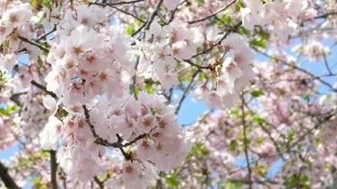 cherry-blossom-706631_960_720