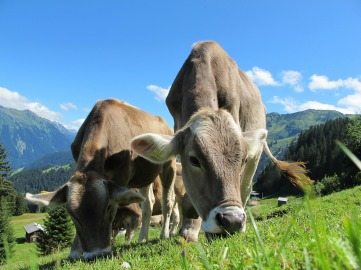 cows-cow-203460_1920